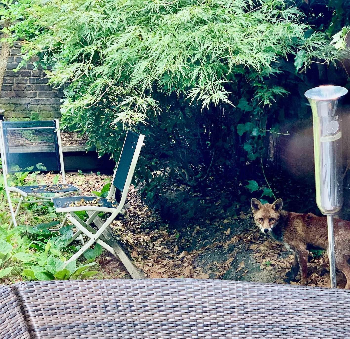 Fox in the garden London