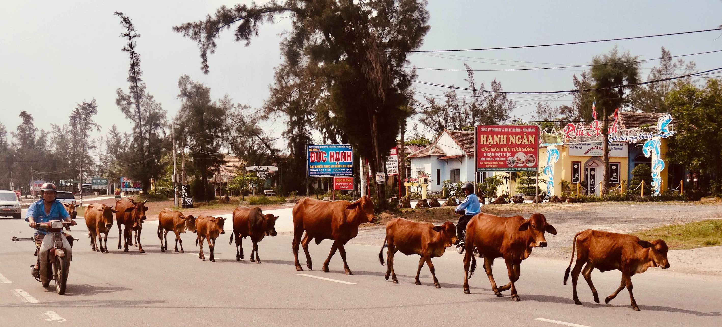 Cows in the road Dong Hoi Vietnam.