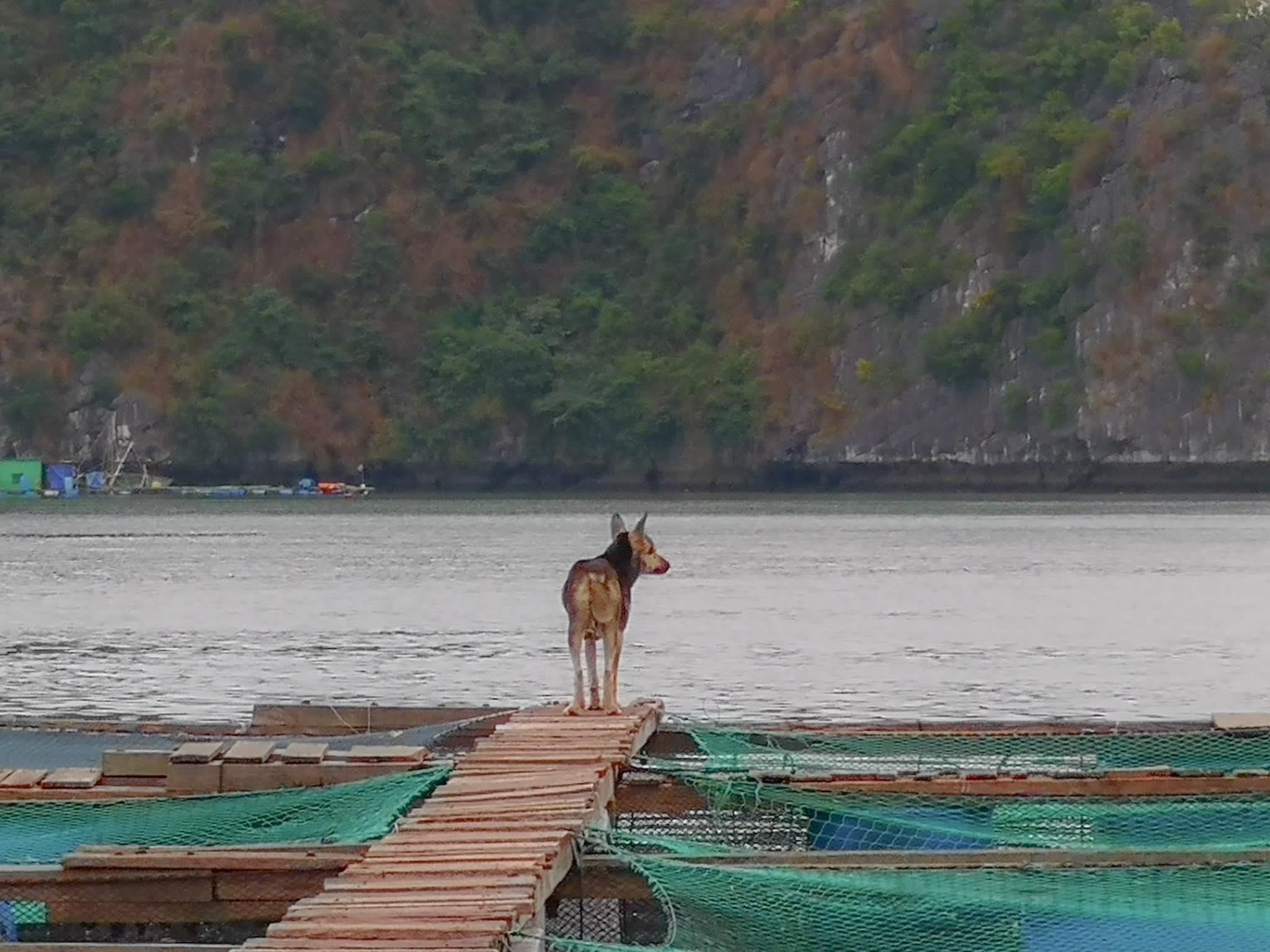 Floating village dog Halong Bay Vietnam